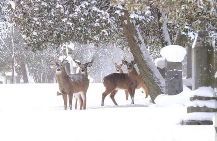 A group of bucks in the snow
