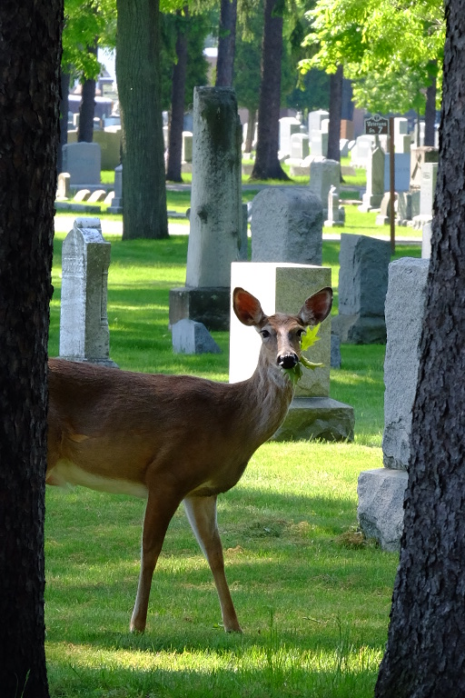 A deer eating leaves in a traditional burial section
